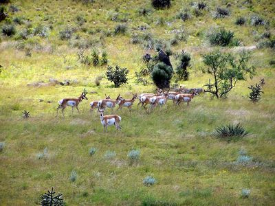 Pronghorn_herd1