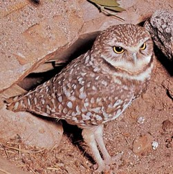 Burrowowl2