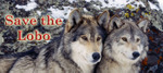Wolf_pair_3