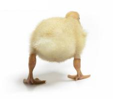 Duckbabe_1
